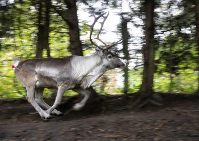 dart reindeer donaldsons documentary stuart coleman